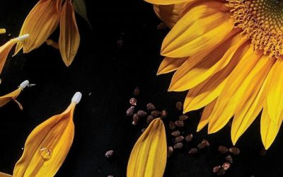 It's always sunflower season at Aveda! We use sunflower oil in Hand Relief for its rich conditioning benefits. It works with andiroba oil and other ingredients to give you lasting softness. Use it perennially — or maybe a lot more often than that.