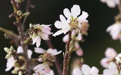 Cherry blossoms aren't just pretty to look at — they're part of the reason #CherryAlmond shampoo and conditioner make your hair feel SO soft! Cherry blossoms are rich in flavonoids, a diverse group of phytonutrients (AKA plant chemicals) found in almost all fruits and vegetables. Our 98% naturally derived* blend of cherry blossom extract and sweet almond oil comes together to help restore softness and shine from roots to ends. (*from plants, non-petroleum minerals or water.)___________________________#instahair #instabeauty #atthesalon #salonlife #hair #hairspiration #hairsalon #shampoo #hairstyles #hairstyling #haircut #carlsbad #sandiego #sandiegohair #carlsbadhair #aveda #avedacolor #avedaproducts #avedaartist #smellslikeaveda #knowwhatyouremadeof #plazapaseoreal #repost @aveda